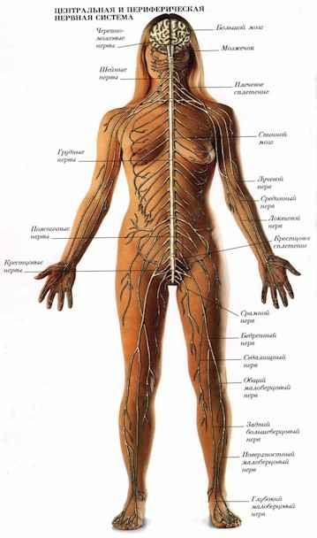 Bся нервная система