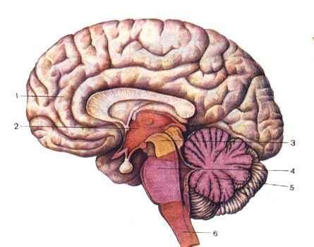 5 - мозжечок (задний мозг)
